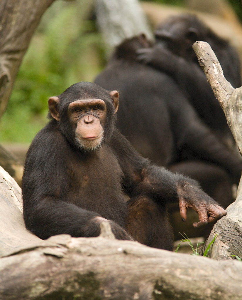 Aspiring Defenders of Justice Should Acknowledge Chimpanzees as Legal People