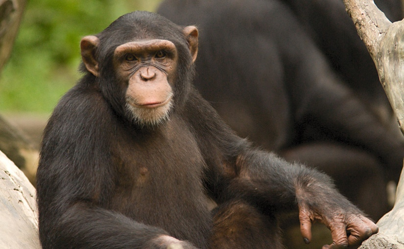 Aspiring Defenders of Justice Should Acknowledge Chimpanzees as LegalPeople